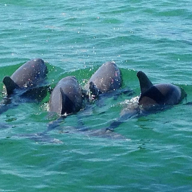 Photo of a dolphin pod from one of our snorkeling trips
